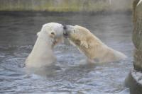 Gianna, Knut - Berlino - 19-03-2011 - E' morta la star dello zoo di Berlino: l'orso Knut