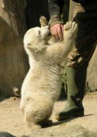 Knut - Berlino - 19-03-2011 - E' morta la star dello zoo di Berlino: l'orso Knut