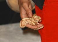 Justin Bieber - Los Angeles - 29-08-2011 - Justin Bieber vende il suo boa constrictor per beneficenza