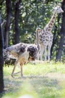 Giraffa - New York - 31-08-2012 - Michelle Williams allo zoo con tutta la famiglia