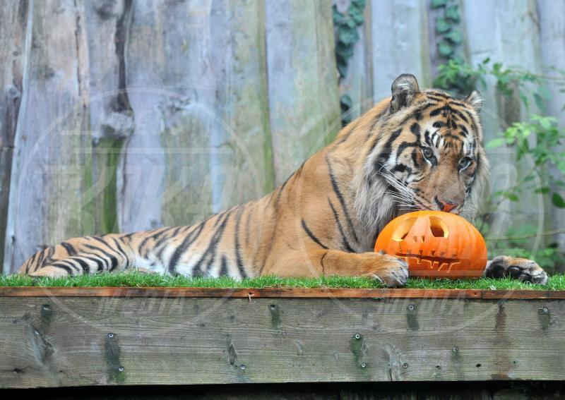Jae Jae tigre di Sumatra - Londra - 30-10-2012 - Negli zoo inglesi anche gli animali festeggiano Halloween