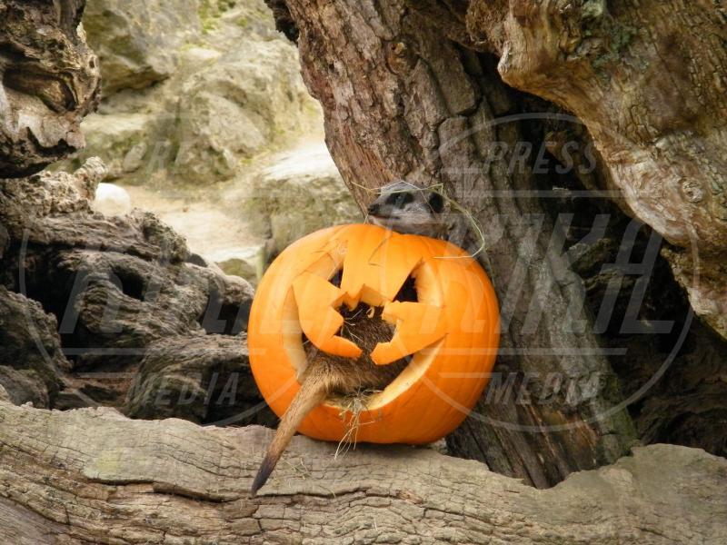 Oxfordshire - 28-02-2010 - Negli zoo inglesi anche gli animali festeggiano Halloween