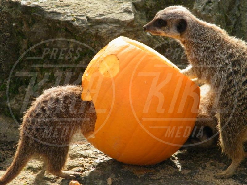 Oxfordshire - 12-03-2009 - Negli zoo inglesi anche gli animali festeggiano Halloween
