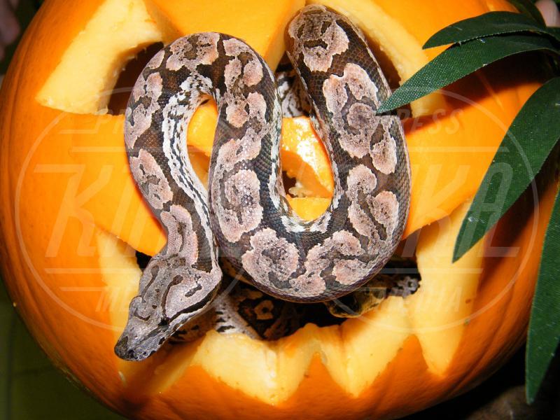 Serpente - Oxfordshire - 03-03-2009 - Negli zoo inglesi anche gli animali festeggiano Halloween