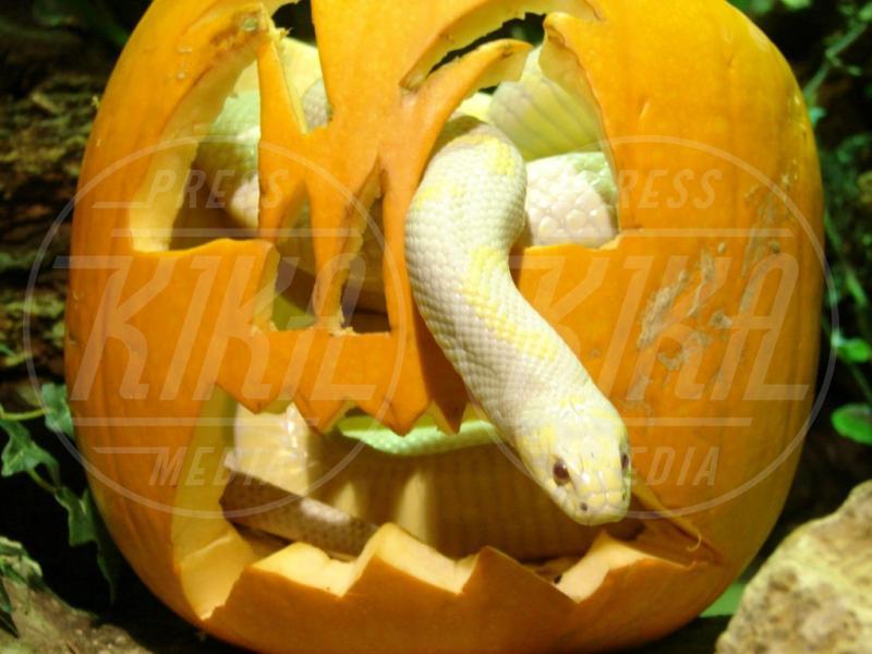Serpente - Oxfordshire - 23-10-2008 - Negli zoo inglesi anche gli animali festeggiano Halloween