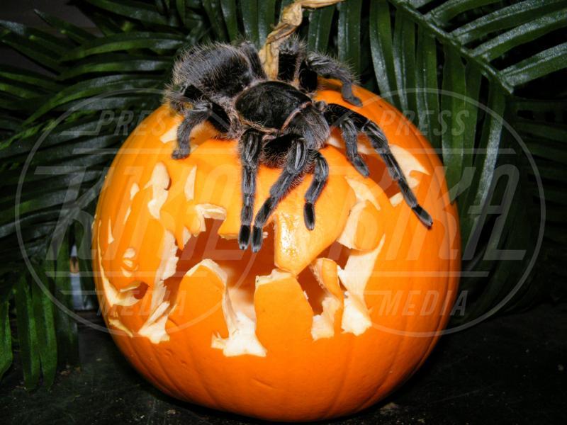 Ragno - Oxfordshire - 03-03-2009 - Negli zoo inglesi anche gli animali festeggiano Halloween