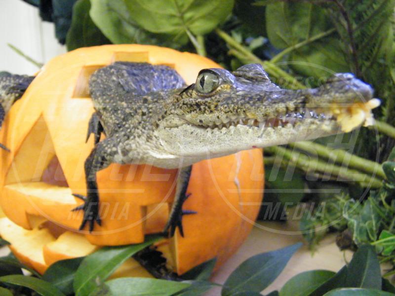 Coccodrillo - Oxfordshire - 28-02-2010 - Negli zoo inglesi anche gli animali festeggiano Halloween