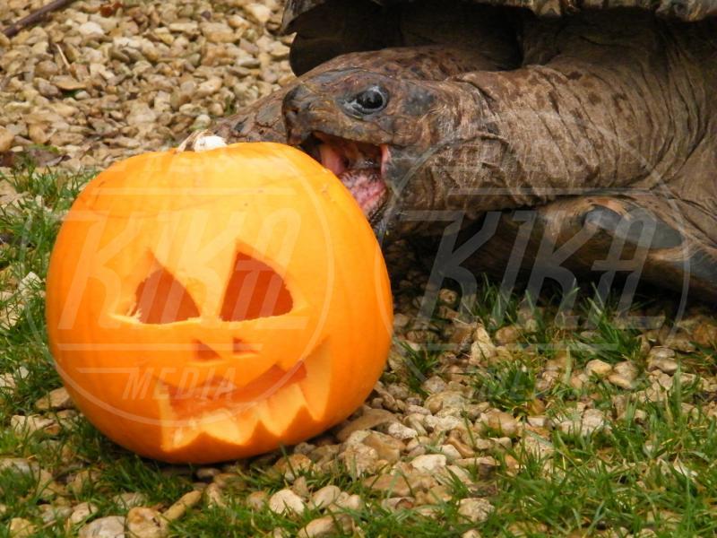Tartaruga - Oxfordshire - 03-03-2009 - Negli zoo inglesi anche gli animali festeggiano Halloween