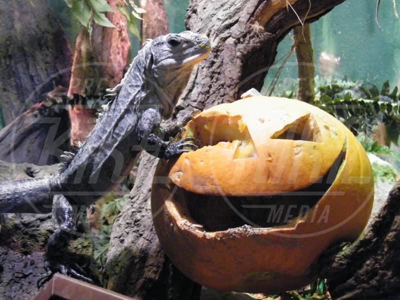 Iguana - Oxfordshire - 06-03-2010 - Negli zoo inglesi anche gli animali festeggiano Halloween