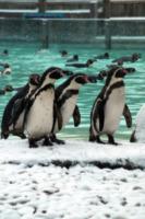 Pinguini - Bedfordshire - 18-01-2013 - Londra in tilt per la neve