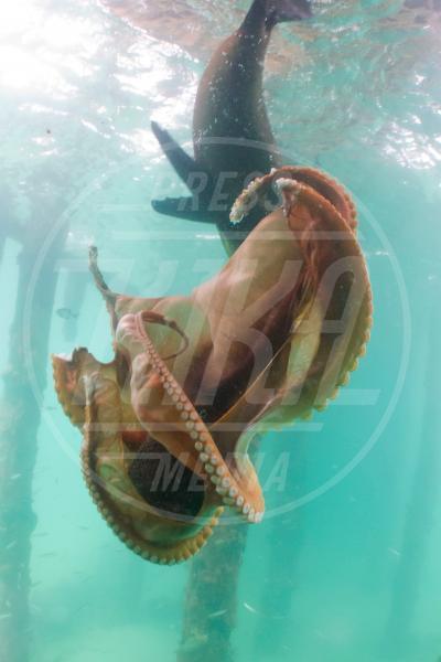 Polipo, Foca - 31-01-2013 - Foca batte polpo uno a zero sui fondali australiani