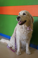 """Angiolina - Pavia - 21-05-2013 - Un cane in corsia: """"Così i bambini operati tornano a sorridere"""""""
