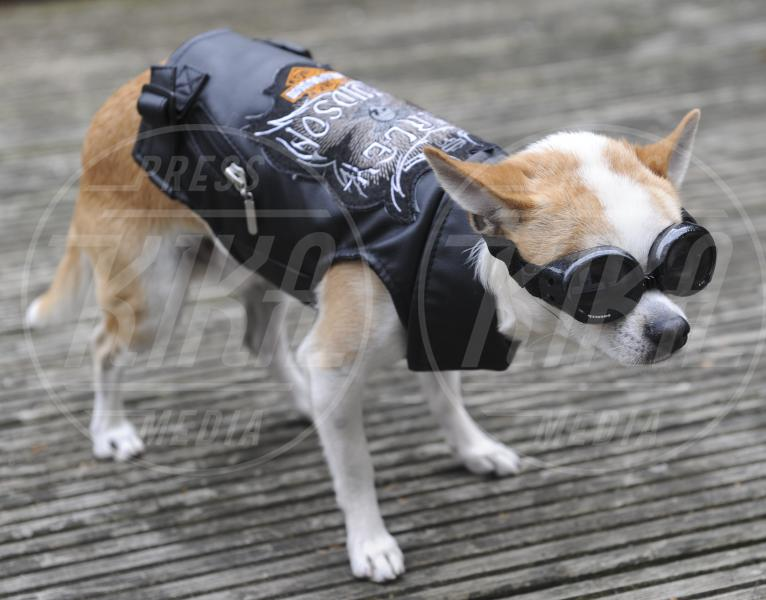 cane Arthur - Essex - 31-05-2013 - Arthur, il chihuahua da 10mila sterline