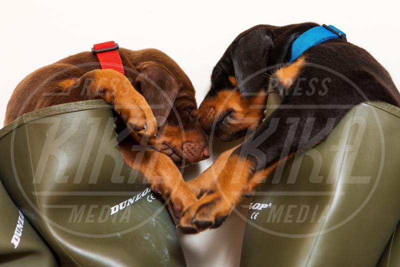 13 cuccioli di dobermann - Suffolk - 12-06-2013 - Stivali di gomma per ospitare un fiume di cuccioli