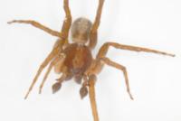 Ctenus Monaghani - Stati Uniti - 28-02-2013 - Ctenus Monaghani, il ragno degli anelli scoperto da un hobbit