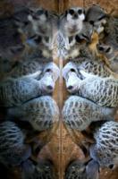 Suricato - Bristol - 04-07-2013 - Specchio della mie brame: i più belli sono i suricati di Bristol
