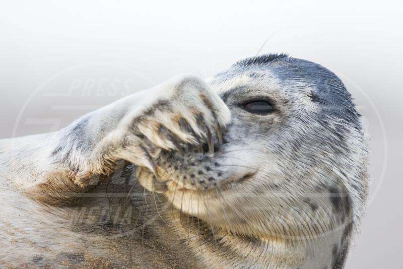 Foca grigia timida - Lincolnshire - 07-08-2013 - La foca grigia che si sente una star