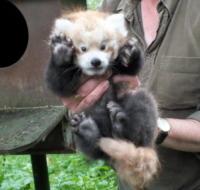 25-07-2013 - Su le mani! C'è un nuovo inquilino all'Highland Wildlife Park
