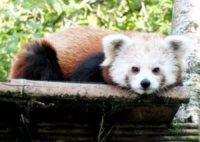 03-08-2012 - Su le mani! C'è un nuovo inquilino all'Highland Wildlife Park