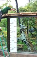 """Tigre - Londra - 21-08-2013 - Il rospo dello zoo di Londra: """"Sono grasso, e allora?"""""""