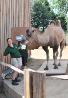 """Cammello - Londra - 21-08-2013 - Il rospo dello zoo di Londra: """"Sono grasso, e allora?"""""""