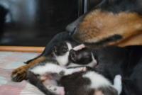 """bassotta Zoe - Montelupo Fiorentino - 04-08-2013 - Zoe, bassotta cuore di mamma con i """"suoi"""" gattini"""