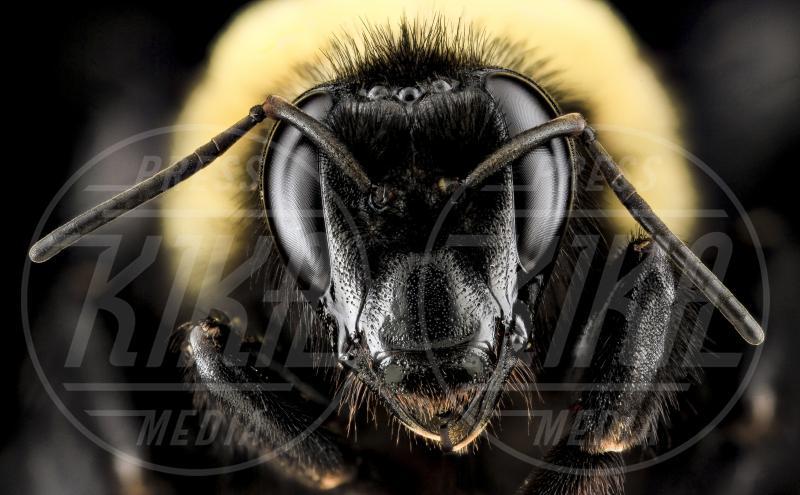 ape selvatica - Reston - 25-09-2013 - Il meraviglioso e segreto mondo delle api