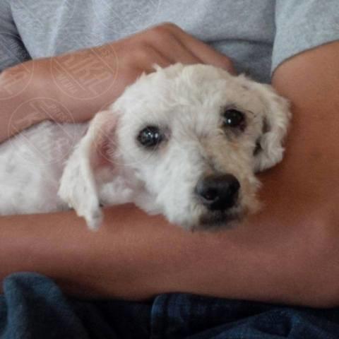 Shrek - Canada - 01-11-2013 - Shrek, il cane barbone salvato da un veterinario