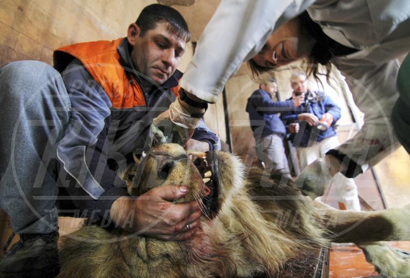 Simba - Varna - 12-12-2013 - Via il dente, via il dolore. Con un coraggio da leoni