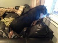 Maialina Virginia - Colorado - 18-06-2014 - Virginia, la maialina che si crede un cane!