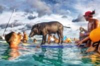 Maialino Kama - Oahu - 17-09-2014 - Libero tra le onde: è Kama, il maialino surfista