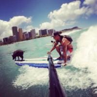 Maialino Kama, Kai Holt - Oahu - 17-09-2014 - Libero tra le onde: è Kama, il maialino surfista