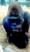 Imogen Williams, Gorilla Kouillo - 17-10-2014 - Il bacio da applauso del gorilla Kouillo