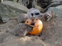 Lemuri - Londra - 27-10-2014 - Tutti pazzi per Halloween: una festa bestiale!