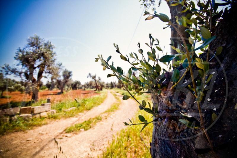 Ulivo - Sannicola - 10-05-2015 - Xylella, la piaga del Salento: santoni e scienziati si sfidano