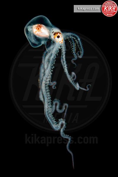 Pelagic Octopus at Night - Kona - 21-03-2016 - Underwater Photographer of the Year:l'oceano visto dai fotografi