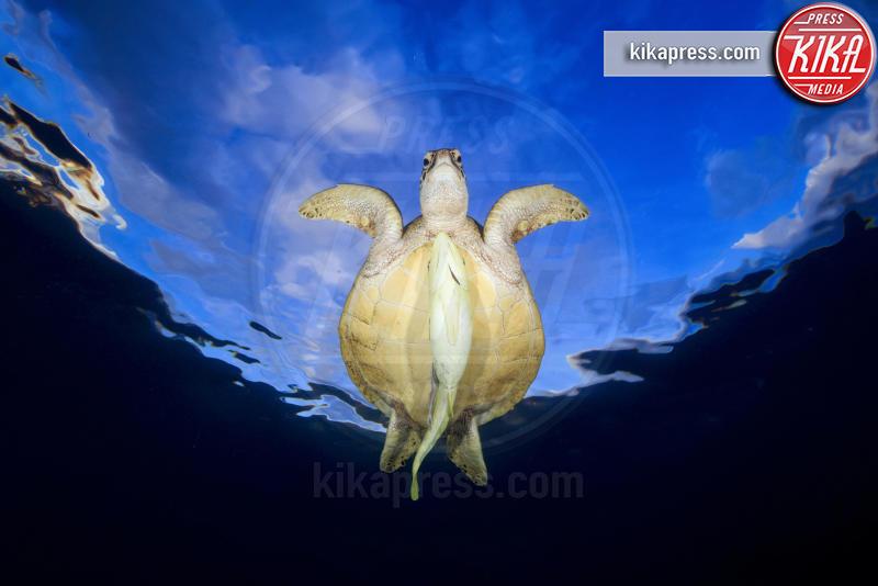 remora fish - Londra - 21-03-2016 - Underwater Photographer of the Year:l'oceano visto dai fotografi