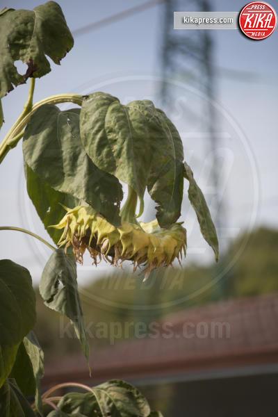 girasole - Fogliano Redipuglia - 02-09-2016 - Il giardino miracoloso: girasoli e zucche in formato XXL
