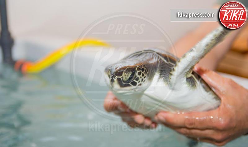 Tartarughe - 06-02-2017 - Brindisi: due Baby tartarughe salvate a Torre Don Guaceto