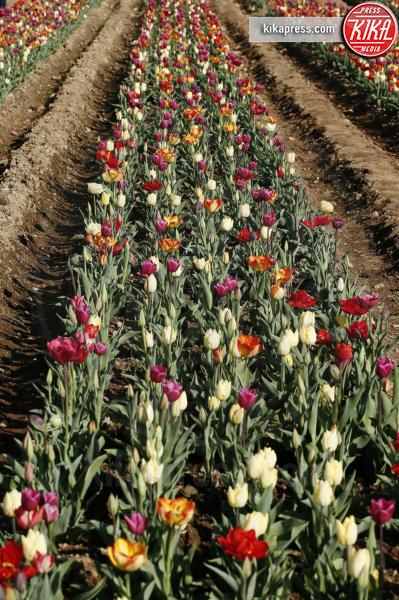 Tulipani - Cornaredo (Milano) - 29-03-2017 - Edwin, dall'Olanda all'Italia per coltivare tulipani a Cornaredo
