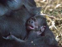 Zoo di Blackpool, Cucciolo di gorilla Miliki - Blackpool - 08-09-2017 - Zoo di Blackpool: in un'area a rischio nasce Miliki