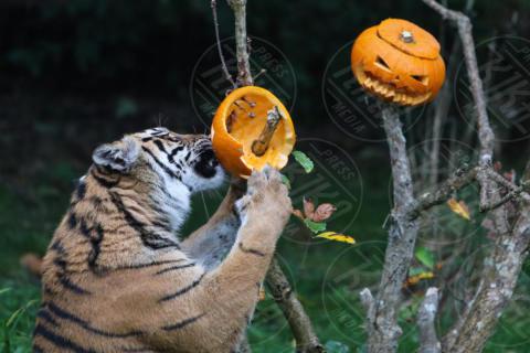 ZSL London Zoo, Sumatran tiger - Londra - 26-10-2017 - Boo at the Zoo: anche gli animali festeggiano Halloween