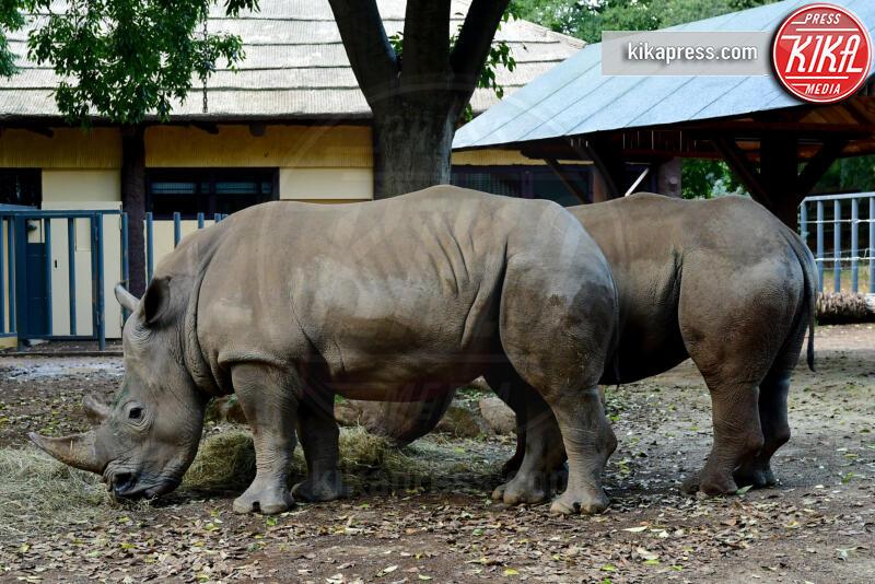 thomas e Kibo, Rinoceronti, Thomas - Roma - 03-10-2019 - Roma, tornano i rinoceronti bianchi: Thomas e Kibo al Bioparco
