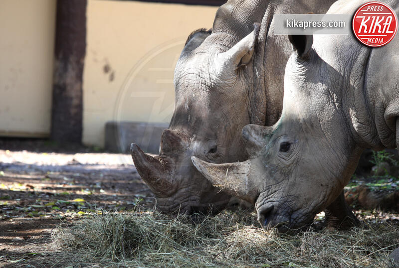 thomas e Kibo, Rinoceronti - Roma - 03-10-2019 - Roma, tornano i rinoceronti bianchi: Thomas e Kibo al Bioparco