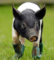 cinders - 18-06-2008 - Cinders, il maiale snob che non si vuole sporcare