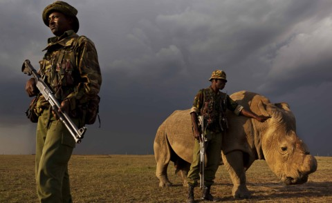 Rinoceronte, Congo - Kenya - 16-04-2015 - Congo: il rinoceronte unico al mondo