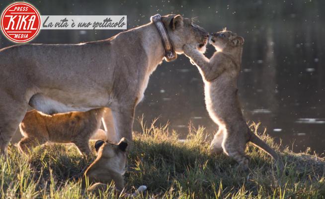 Leone - 26-05-2017 - Foto di animali: le più belle della settimana