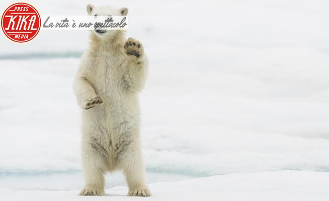 Orso polare - Norvegia - 10-07-2020 - Foto di animali: le più belle della settimana