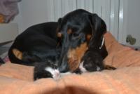 """bassotta Zoe - Montelupo Fiorentino - 23-07-2013 - Zoe, bassotta cuore di mamma con i """"suoi"""" gattini"""