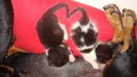 """bassotta Zoe - Montelupo Fiorentino - 22-07-2013 - Zoe, bassotta cuore di mamma con i """"suoi"""" gattini"""